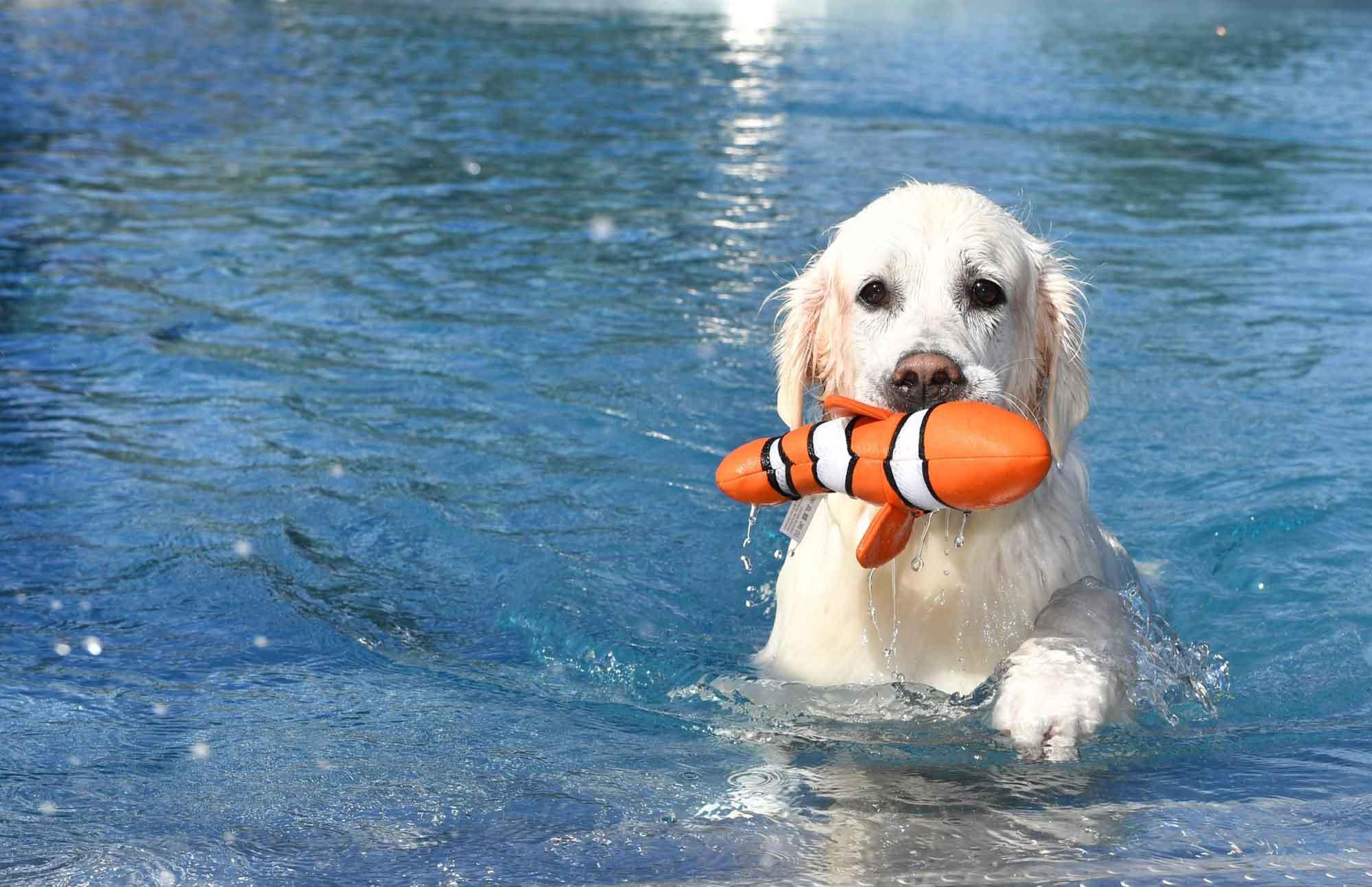 Hundeschwimmen war in den vergangenen Jahren ein Highlight zum Abschluss der Badesaison. Bildnachweis:  Harald Langer